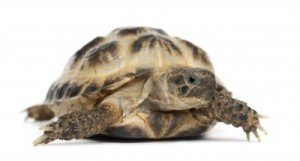 horsefield tortoise for sale buyers guide horsefield