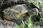 Horsefield Tortoise Hibernation