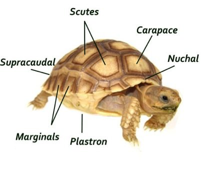Horsefield Tortoise Parts, genus and biology