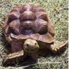 Horsefield tortoise Hygiene, Grooming, Soft Shell and Pyramiding