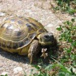 Where to Buy and What to Look for with a Horsefield Tortoise